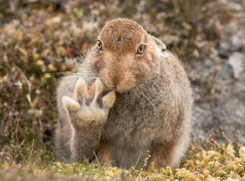 Andy Howard spent more than five hours with this mountain hare, which appears to raise its paw to say hello in the Cairngorms, Scotland. Photo credit: Andy Howar for Comedy Wildlife Photography Awards