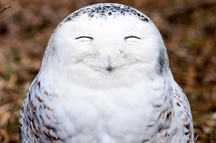 A snowy owl looks very content as it smiles for Edward Kopeschny in Ontario, Canada. Photo credit: Edward Kopeschny for Comedy Wildlife Photography Awards
