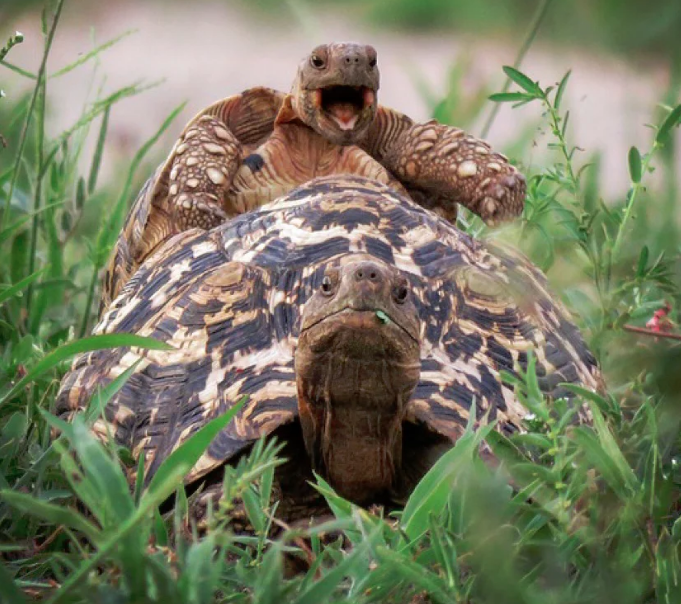 A little leopard tortoise jumps on a friend's back in Tarangire national park, Tanzania. Photo credit: Brenden Simonson for Comedy Wildlife Photography Awards