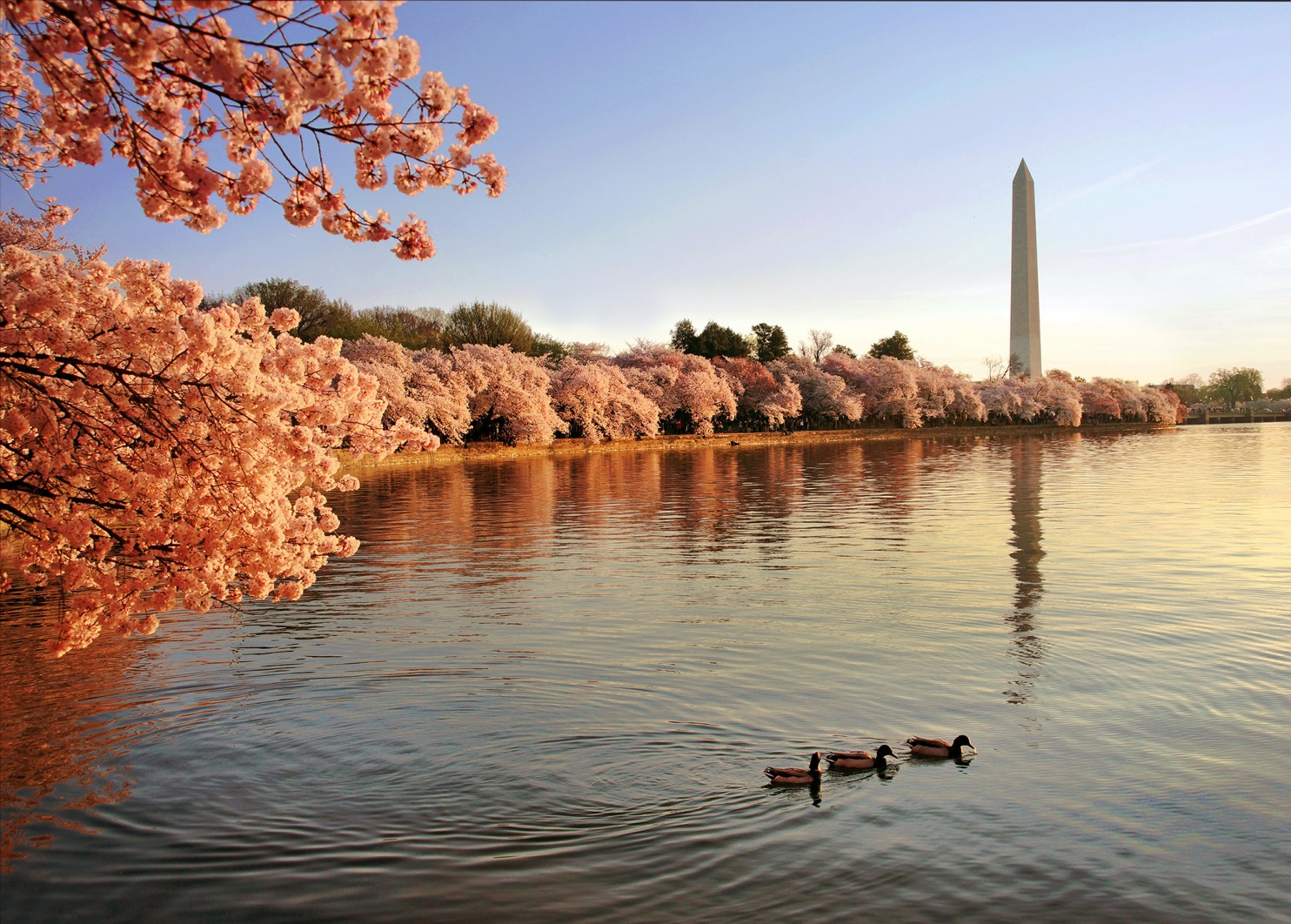 Ducks on the Tidal Basin with Cherry Blossoms in full bloom, March 26, 2016. Photo credit: Kevin Ambrose