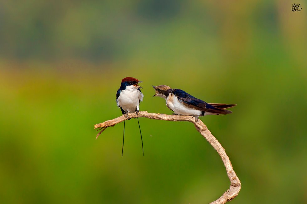 Wire-tailed swallow (Hirundo smithii). Photo credit: Ali Javed/World Wildlife Day
