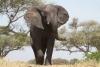 1385554_elephant_in_tanzania
