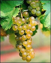 viognier_grapes.jpg