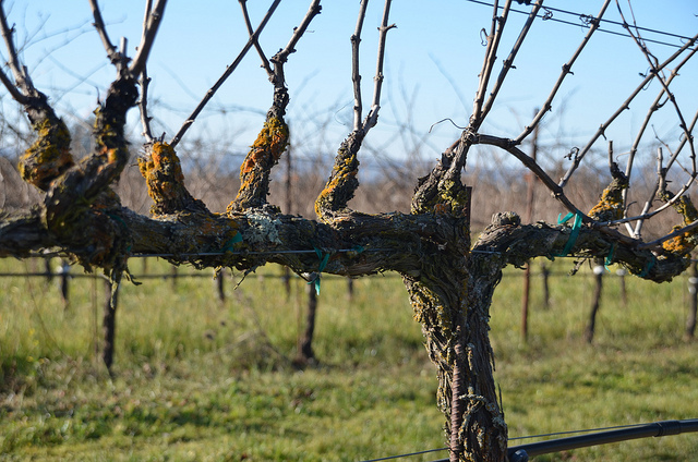 Bare rapevines that are dormant