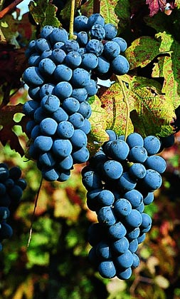 barbera_grapes.jpg