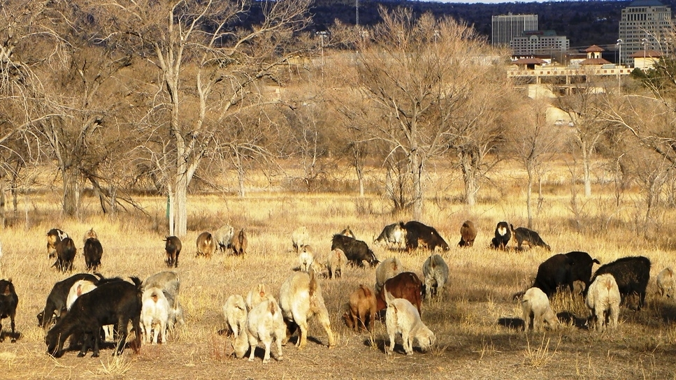 goats_banner2.jpg