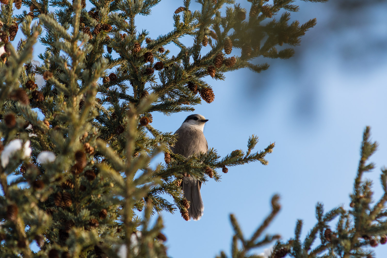 I photographed a bird. A whisky Jack I think? I know nothing about birds to be honest.