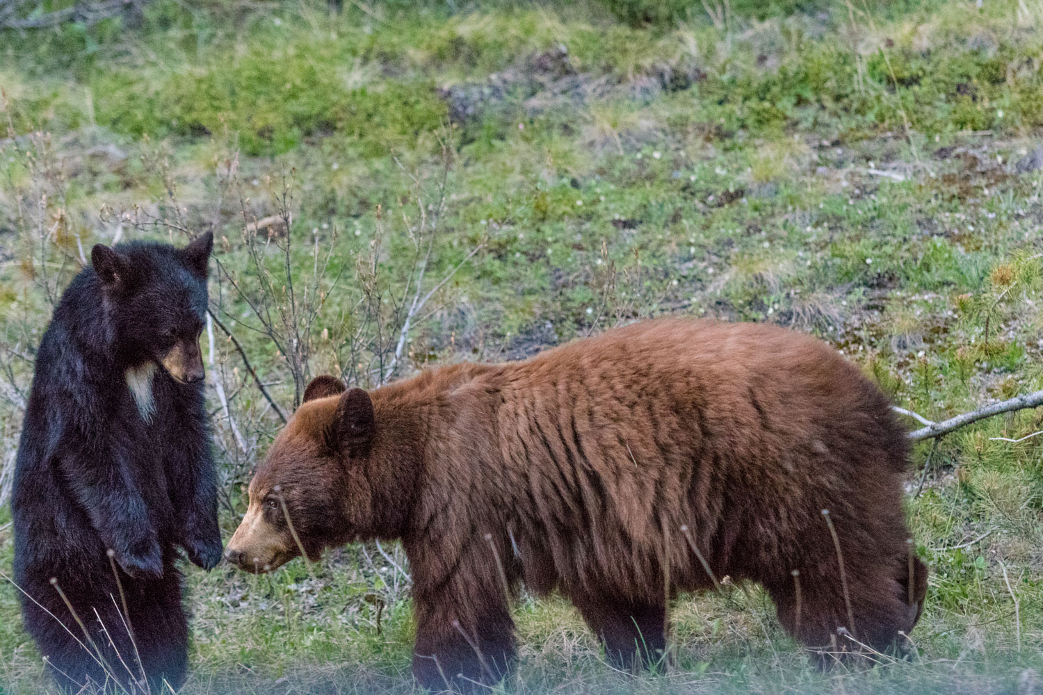 Not all black bears and black.