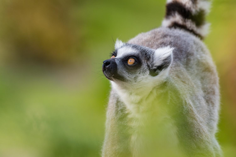 A curious looking lemur at Calgary Zoo.