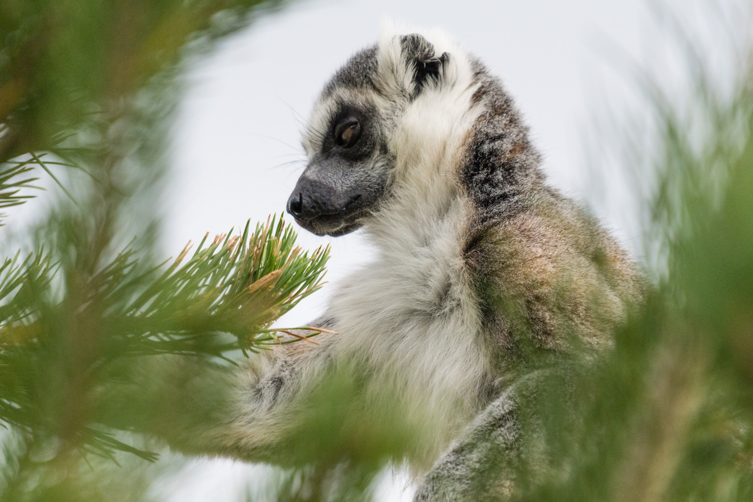 A sinister looking lemur at Calgary Zoo.