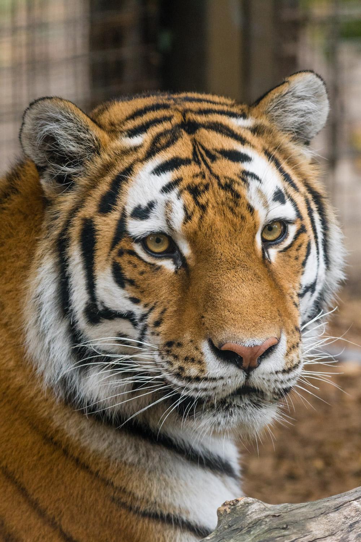 A surprisingly good photo of a tiger through glass.