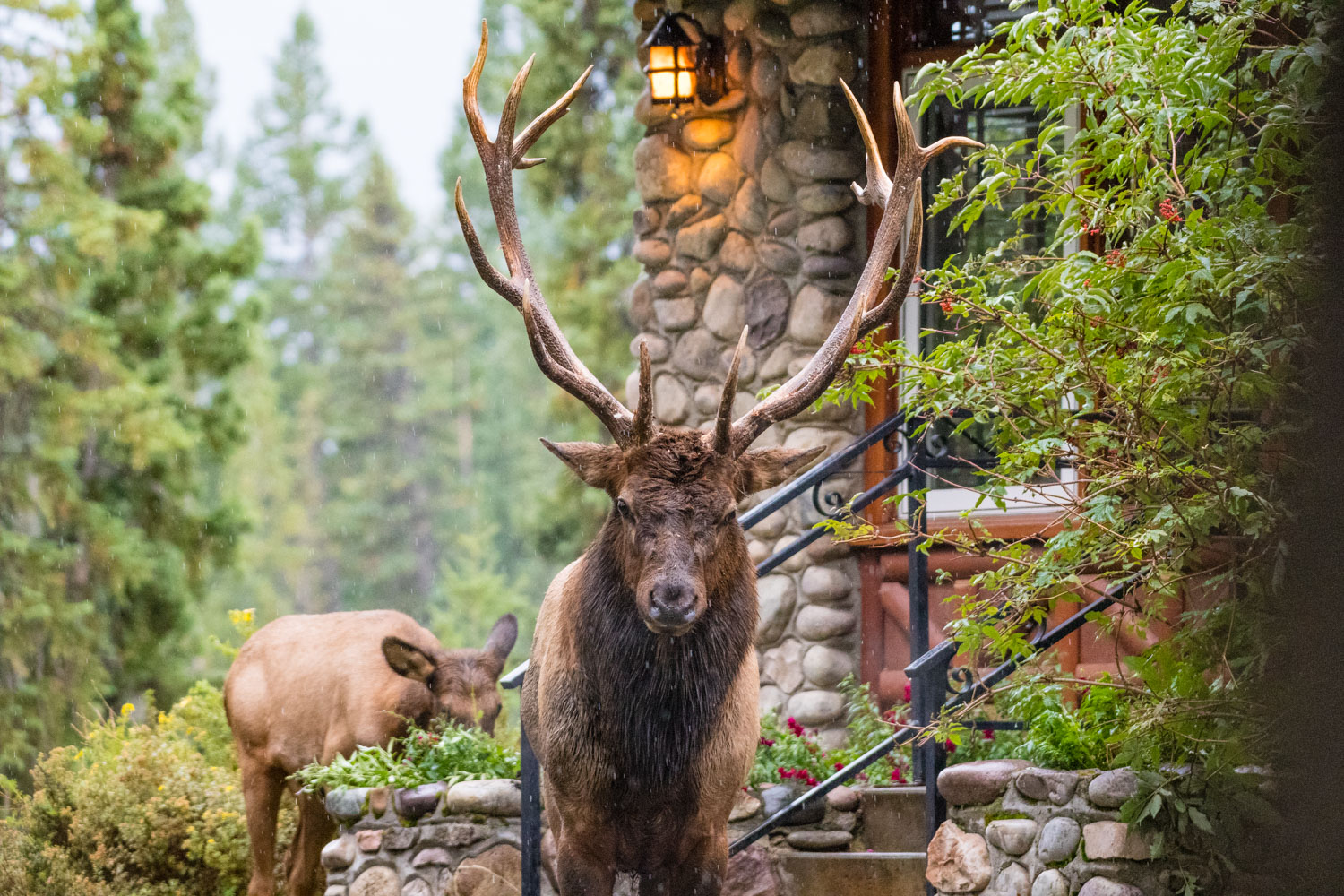 Jasper was full of elk, they woke us up at 2:00am in the morning, shouting through our bedroom window.