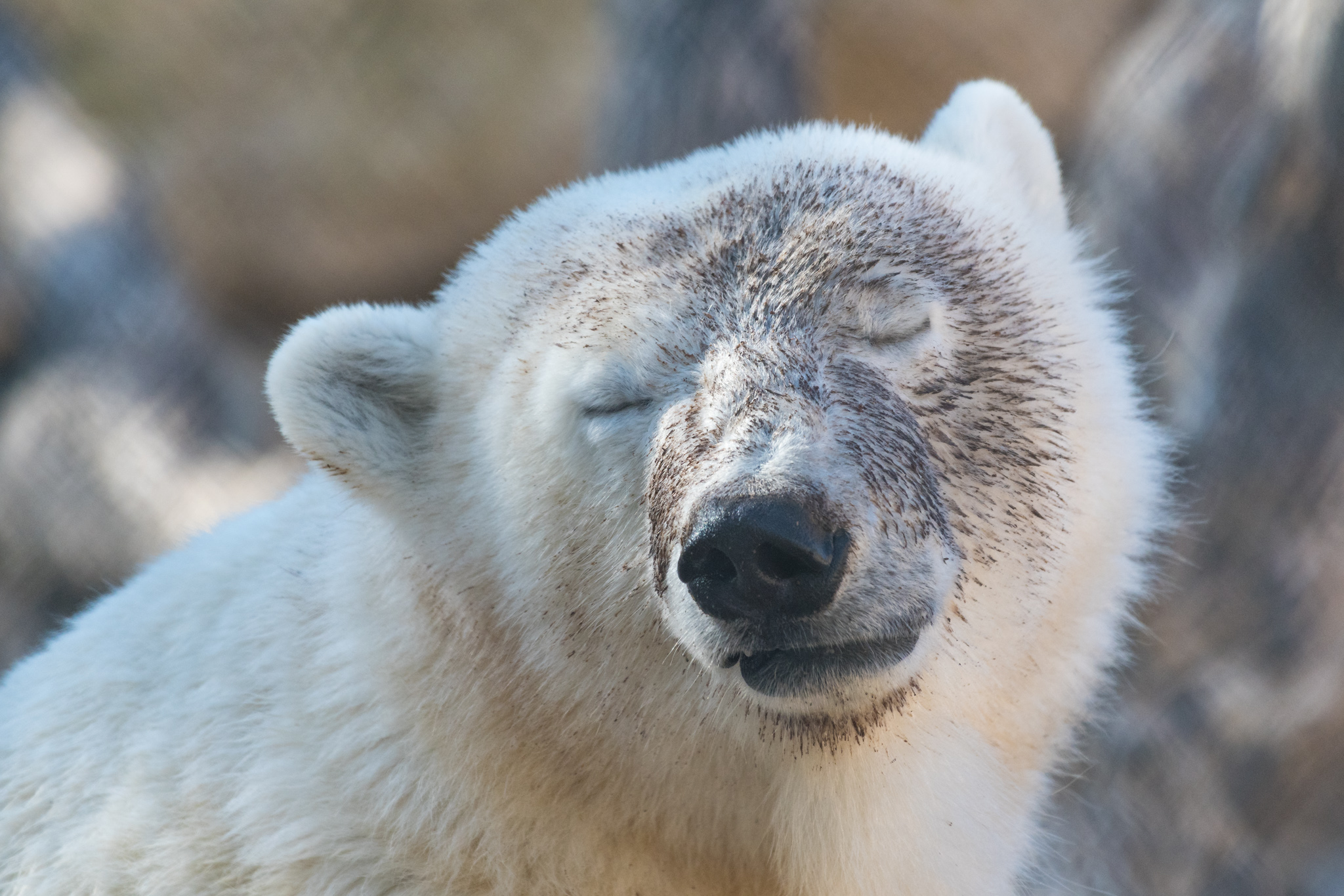 """At the """"Journey to Churchill"""" exhibit. My plan was always to go north to Churchill to see the polar bears. But the one train line to Churchill had flooded that year and flights were way too expensive. So this was the best I could do."""