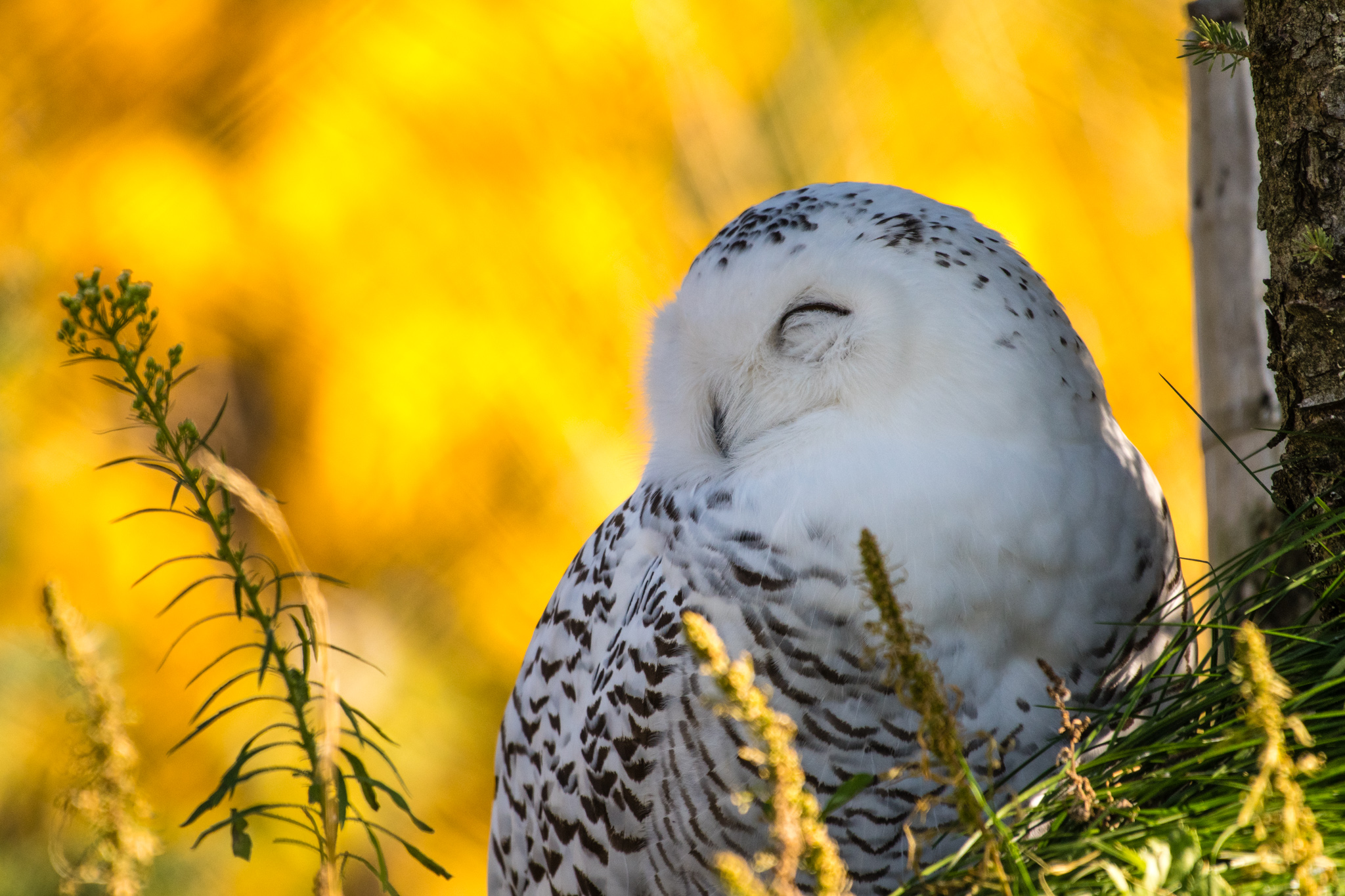 Arctic owl enjoying the usually warm Autumn.