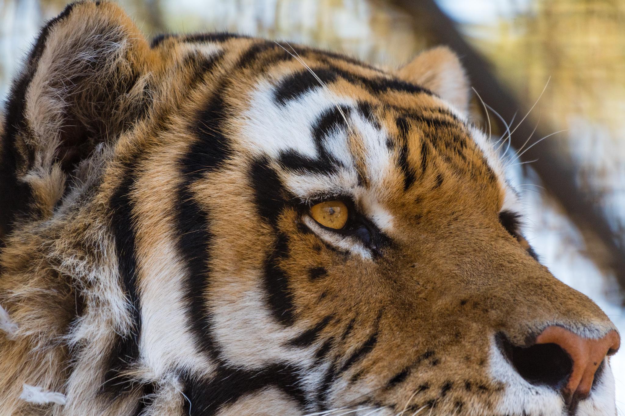 Lazy tiger.