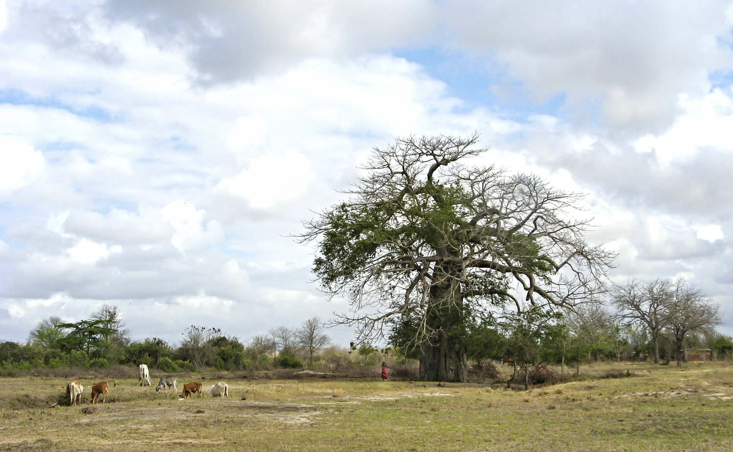 From a young age, children can instinctively look after cattle. You may just see the young boy in red herding the cattle from under the baobab tree.