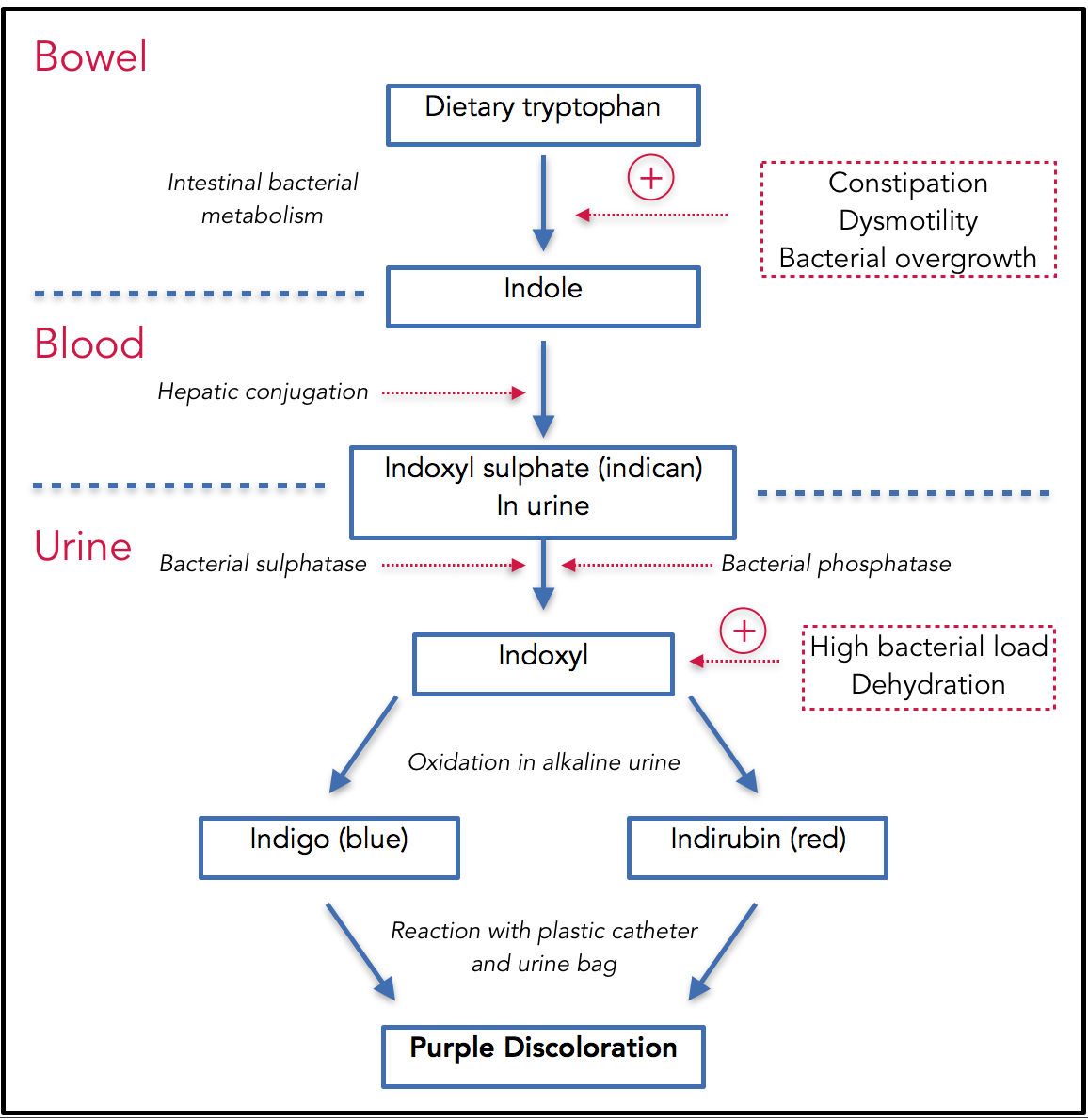 Metabolic Pathways of Purple Urine Bag Syndrome: Adopted from chart originally published in  Purple Urine Bag Syndrome: A Rare and Interesting Phenomenon. South Med J. 2007;100(10):1048-1050.