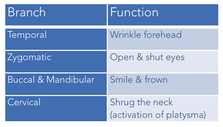 Branches of the Facial Nerve