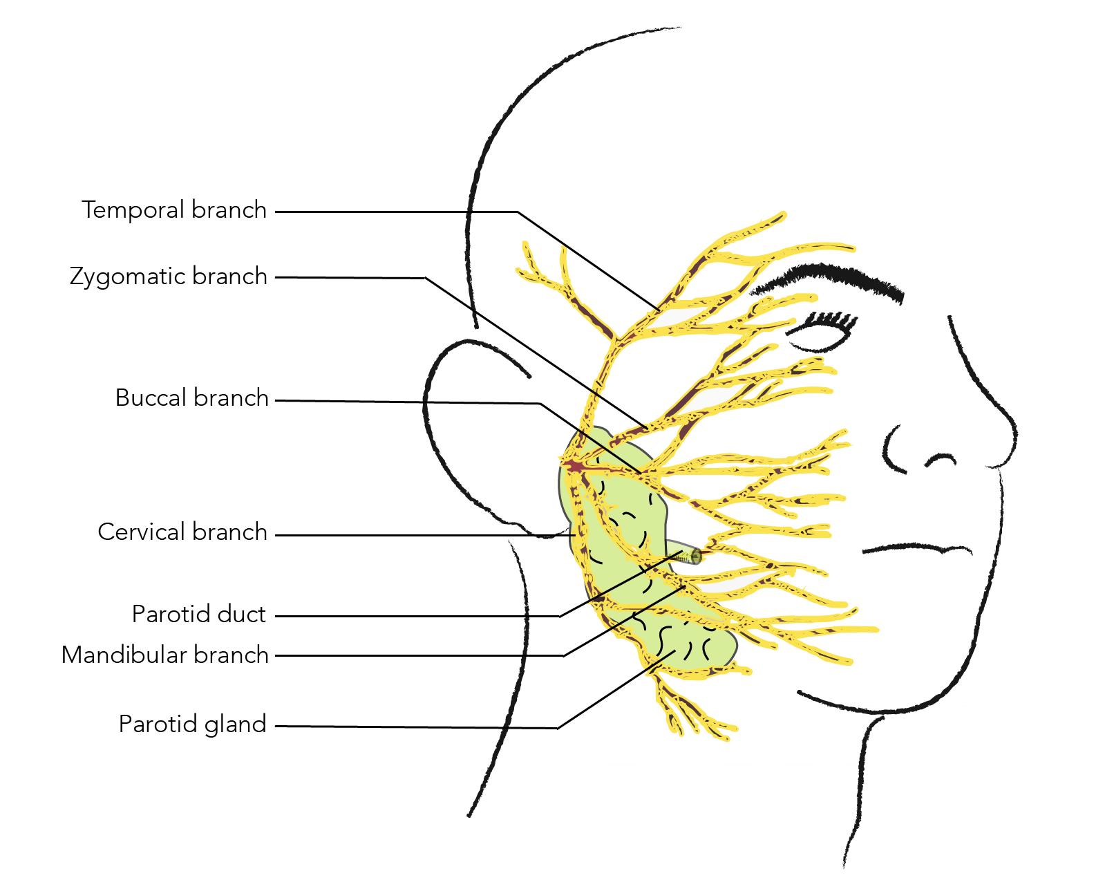 Anatomy Of The Cheek