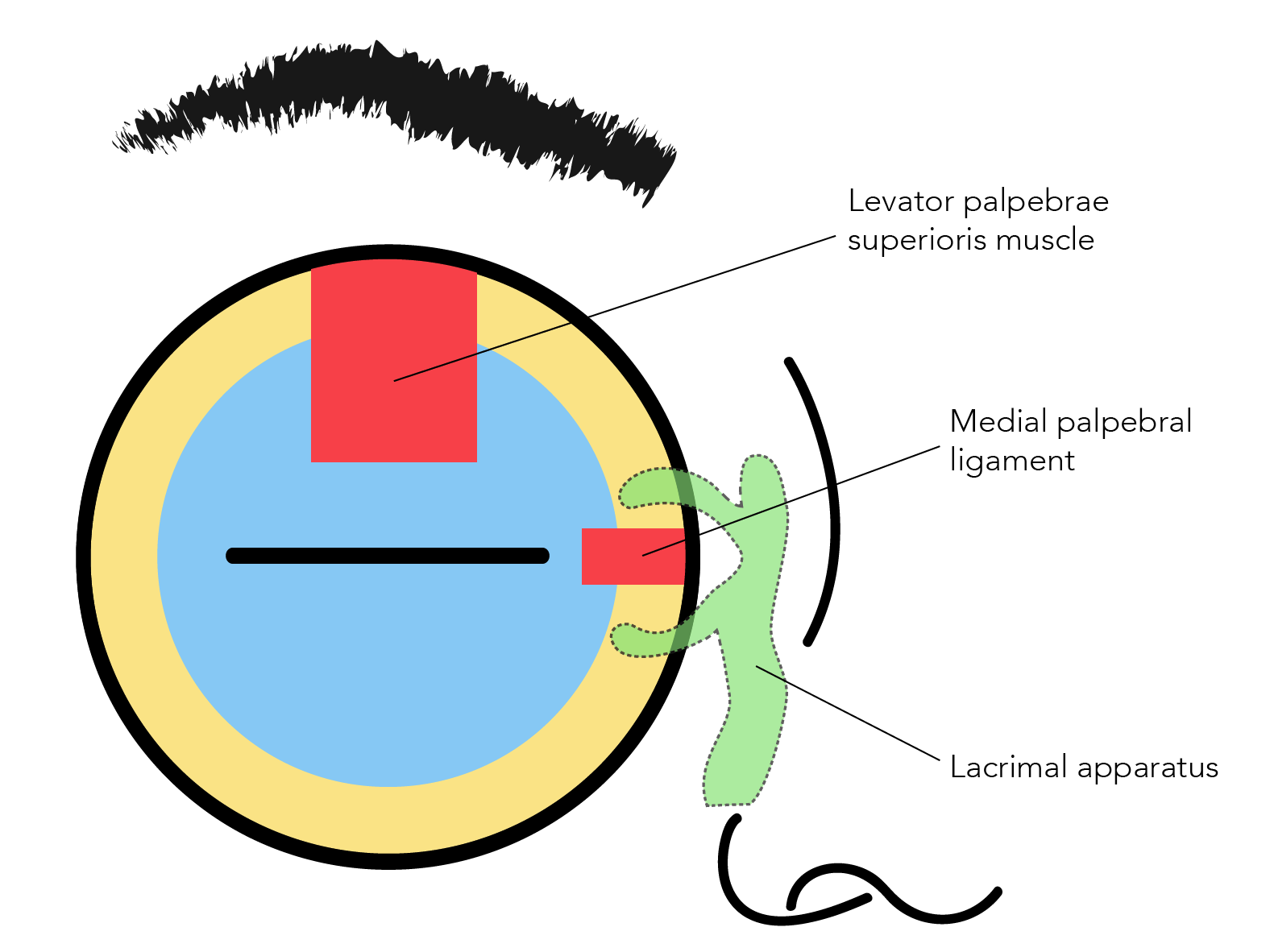Important Anatomic Structures For Eye Trauma