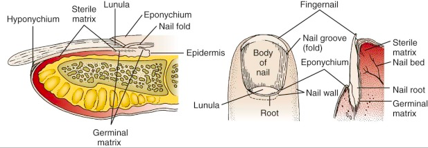 Nail_anatomy diagram 2.png