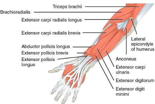 Img 9. Flexors of forearm