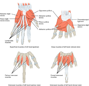 Img 12. Intrinsic muscles of hand