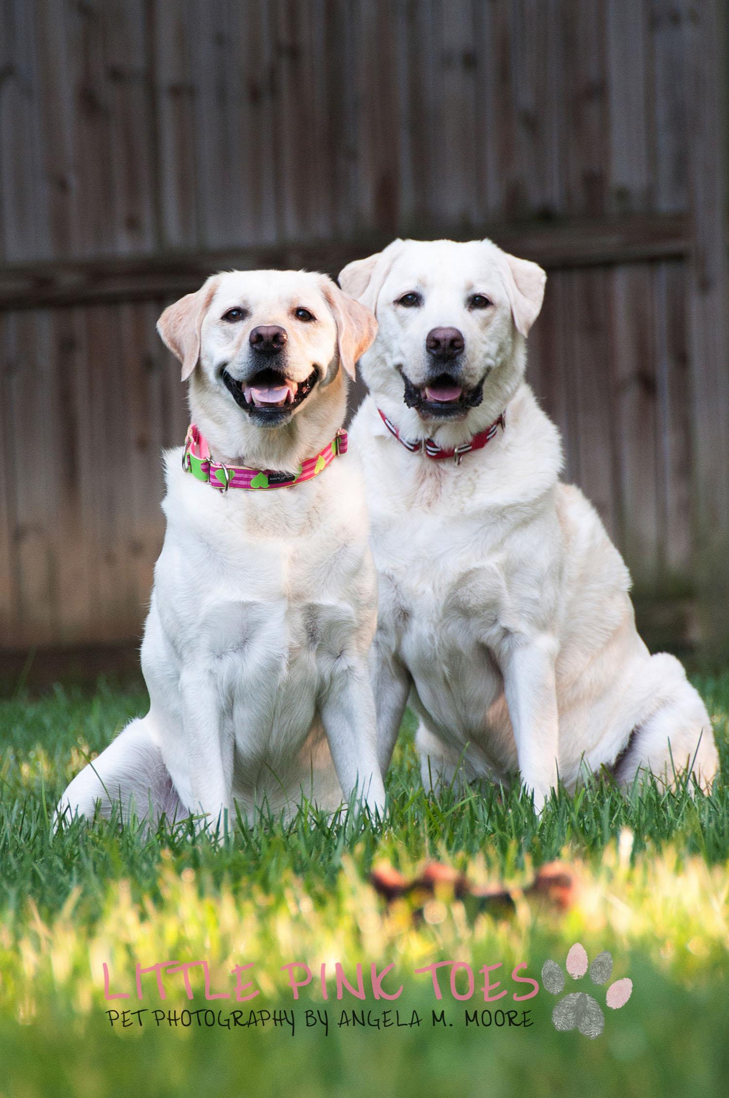 Labrador Retreiver Rescue Pet Photography 4