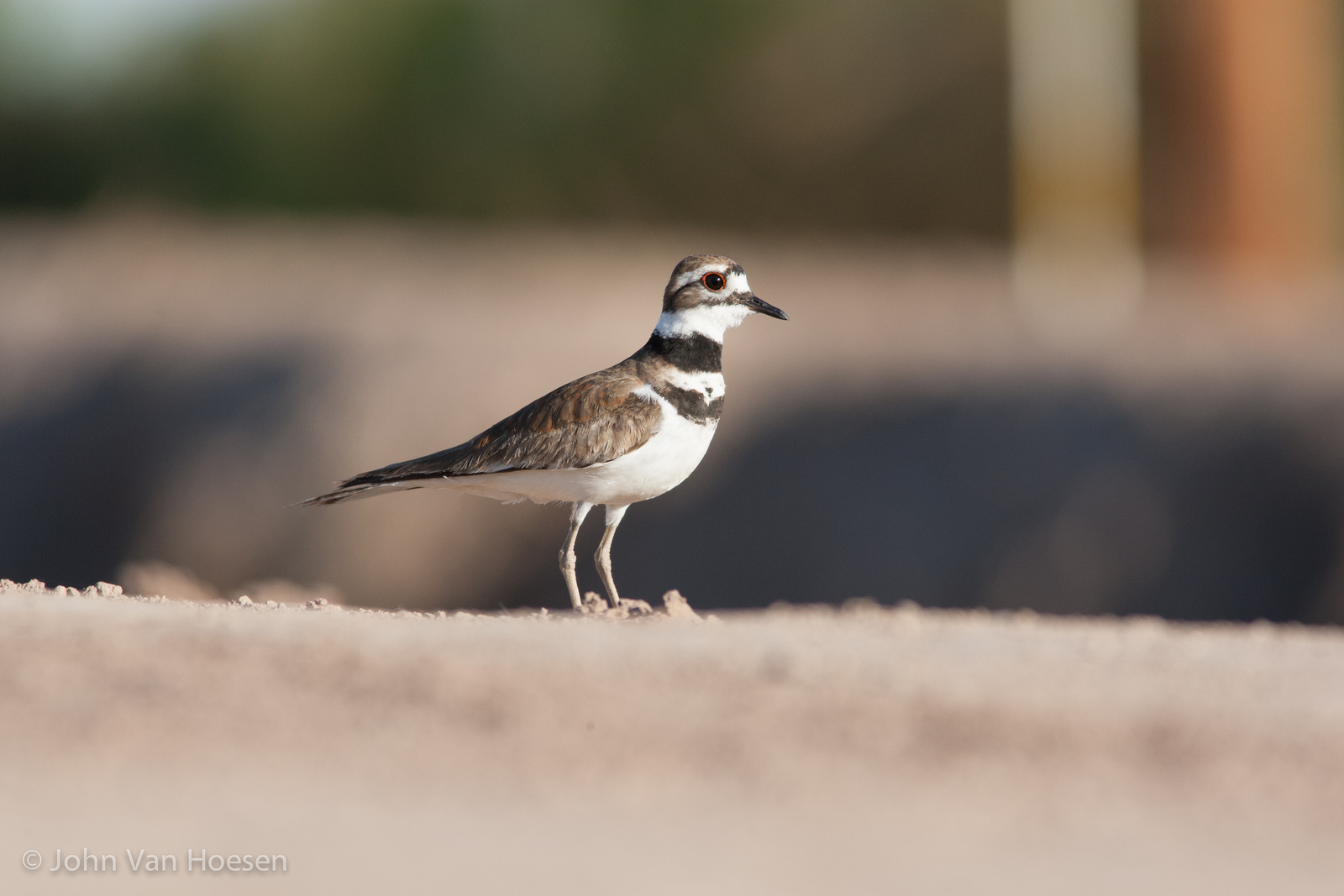 killdeer.jpg