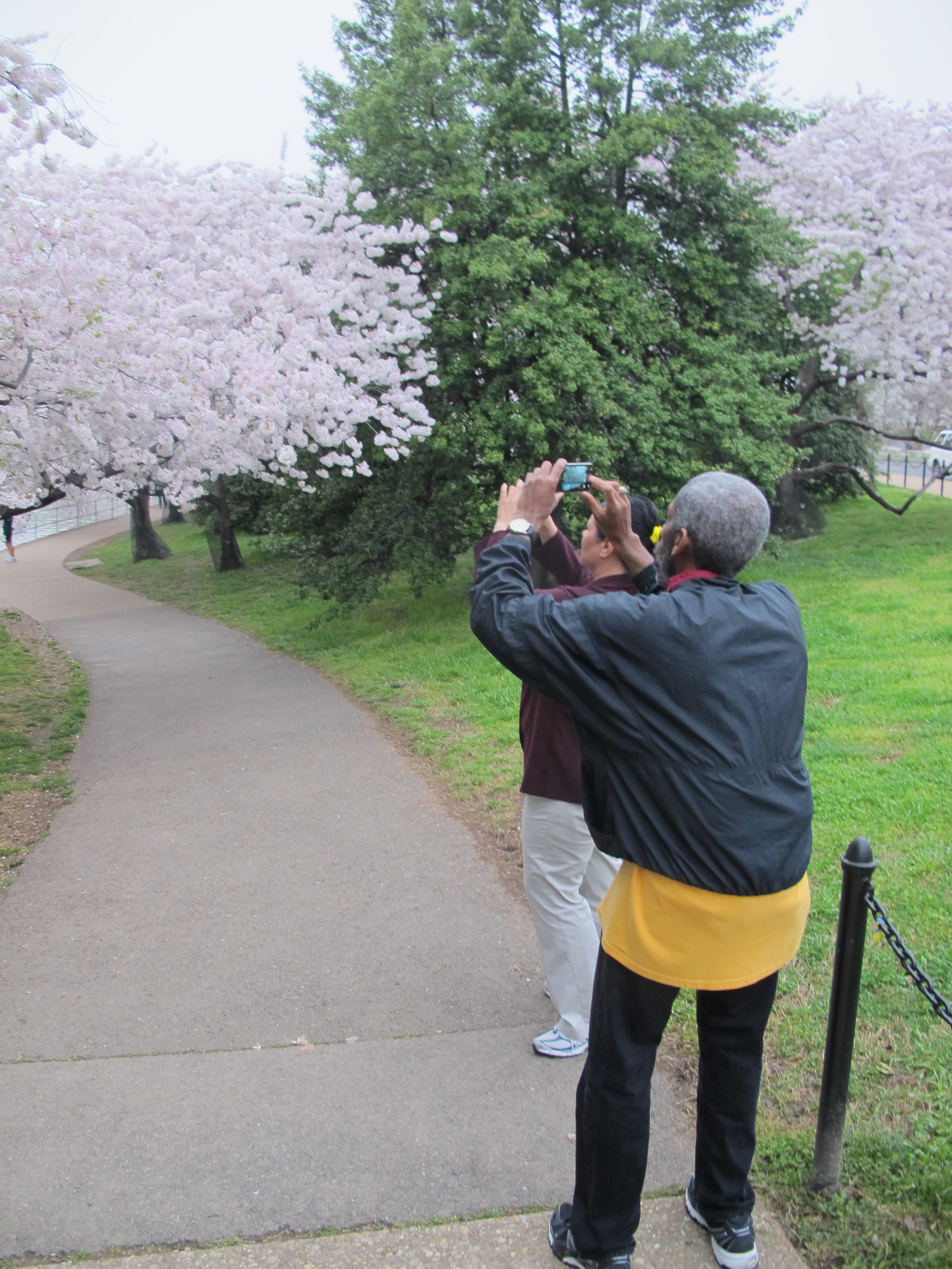 cherry blossom middle-man
