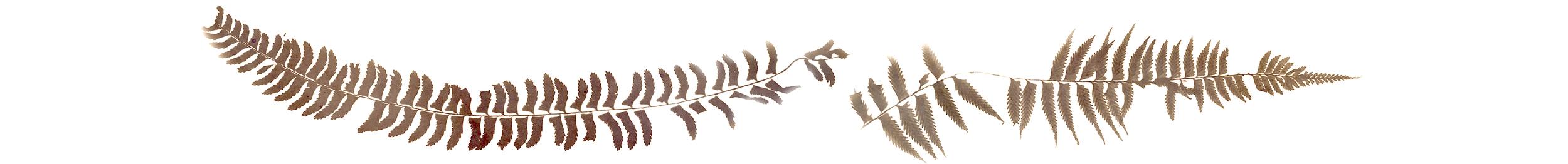 ferns in a line.jpg