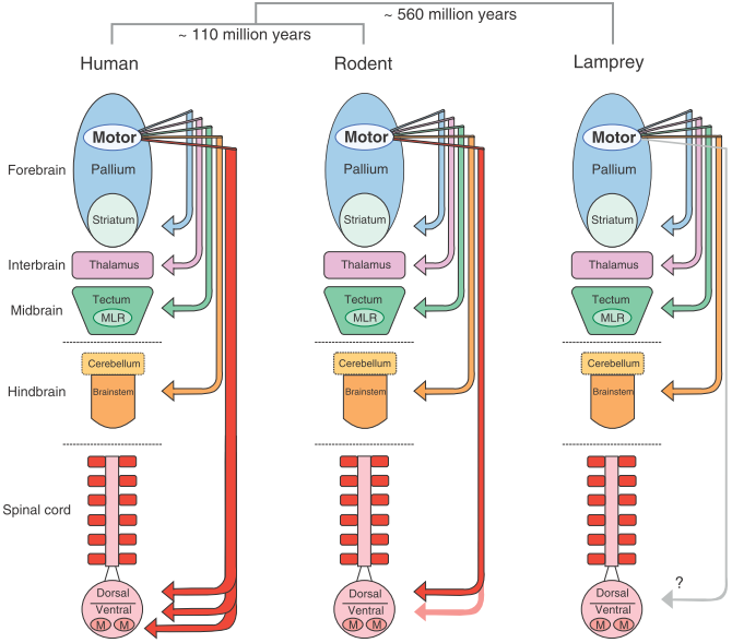 Cortical control: Learning from the lamprey