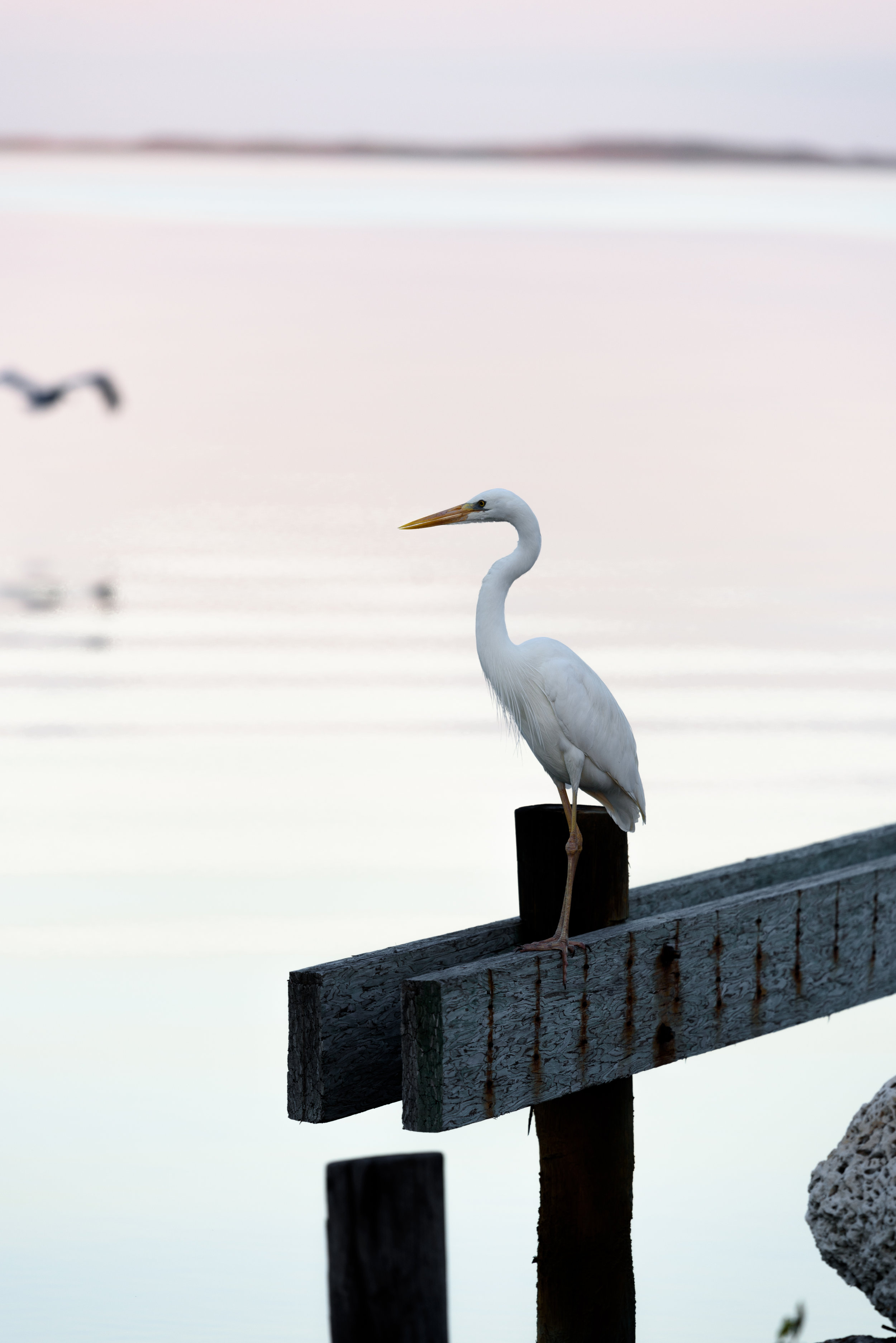 A Great White Heron poses for a close-up
