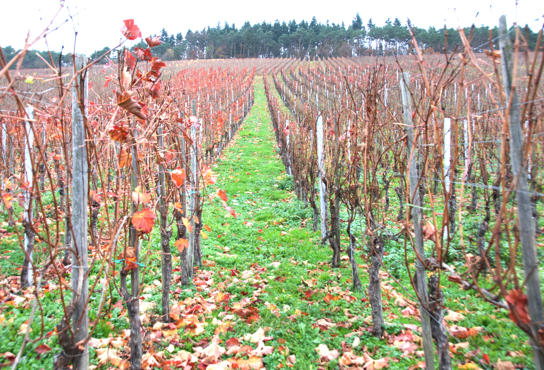 vineyard-traben-trarbach.png