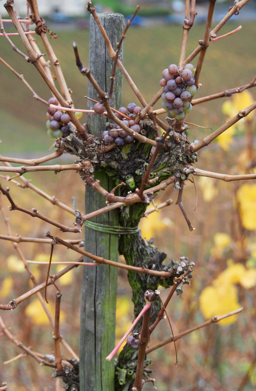 grapes-vineyard-traben-trarbach.png