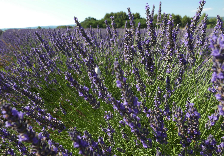 lavender-south-of-france.png