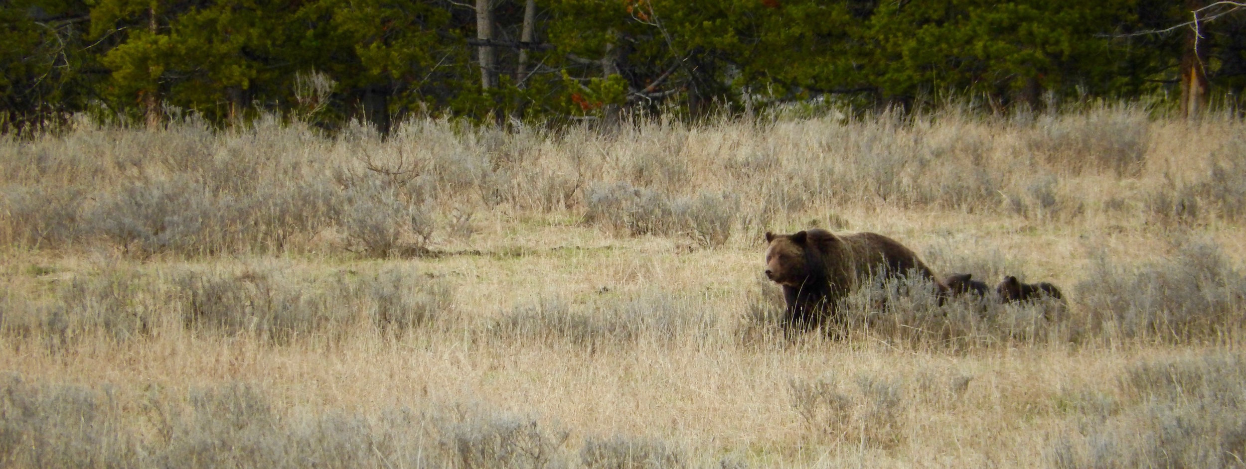 grizzly-bear-mother-cubs-yellowstone.jpg