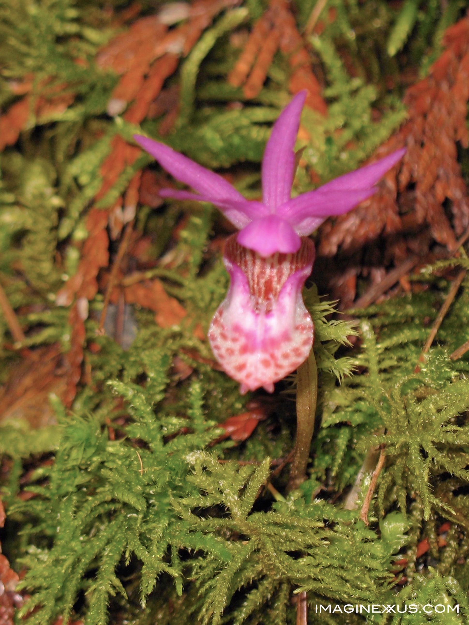 Discovering Oregon's Orchids
