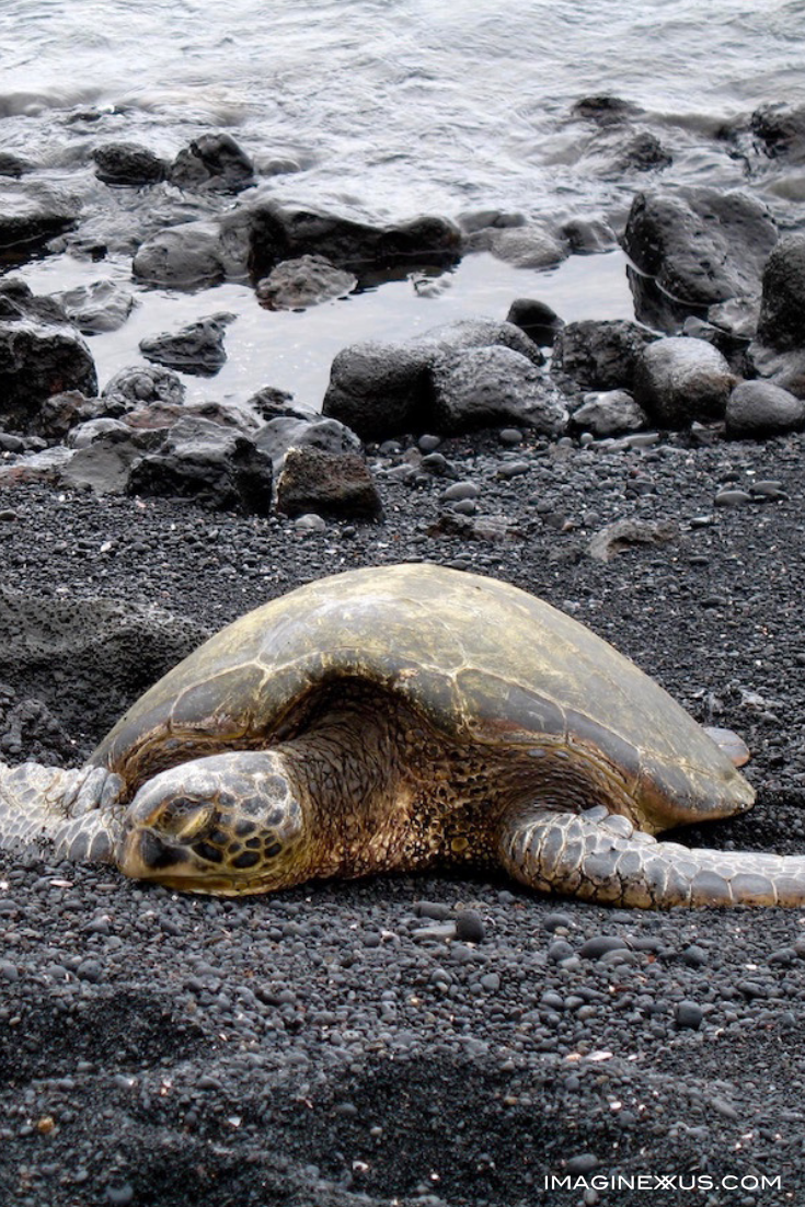 Sea turtle-black sand beach-hawaii.png