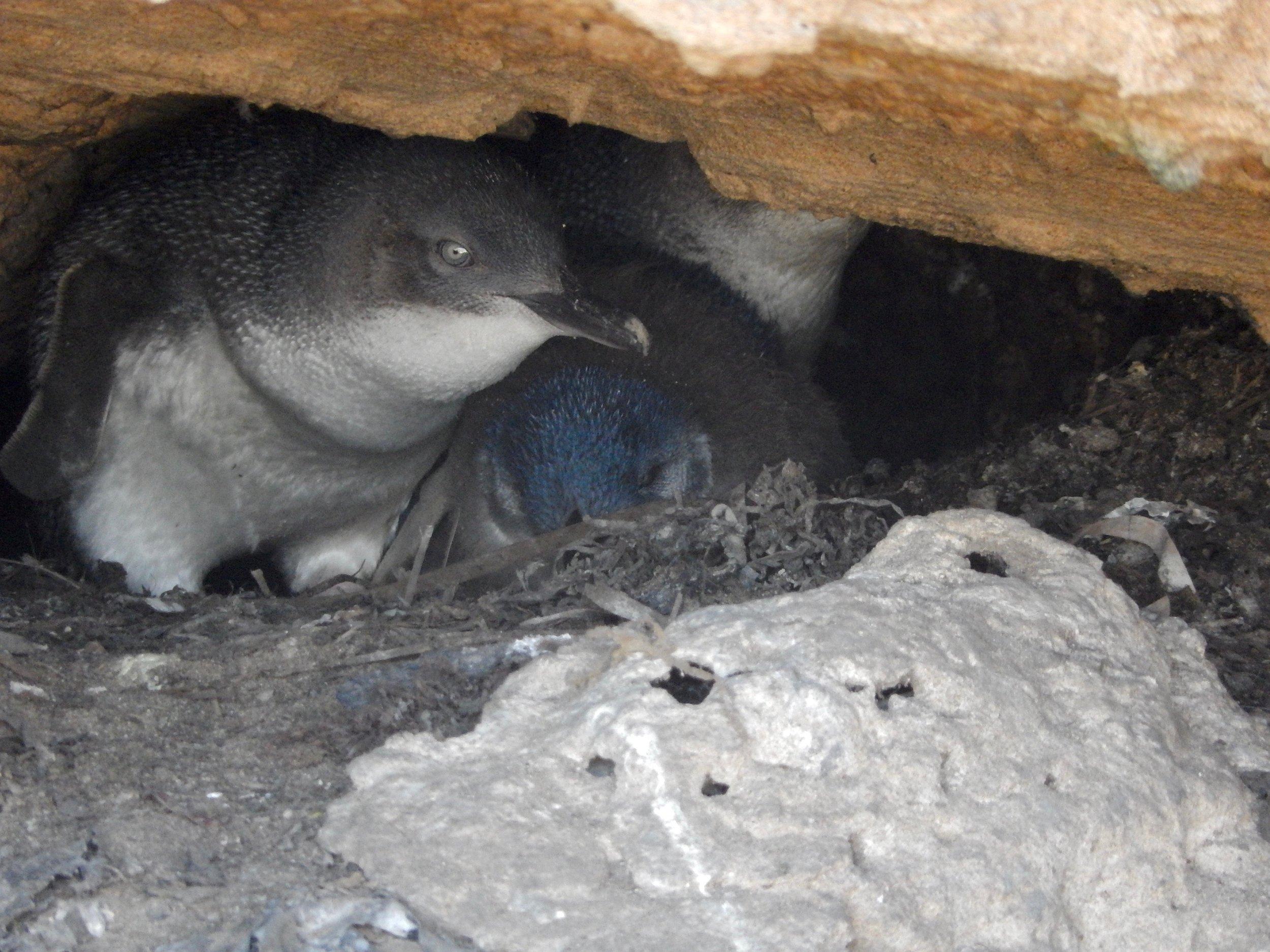 fairy penguin family.jpg