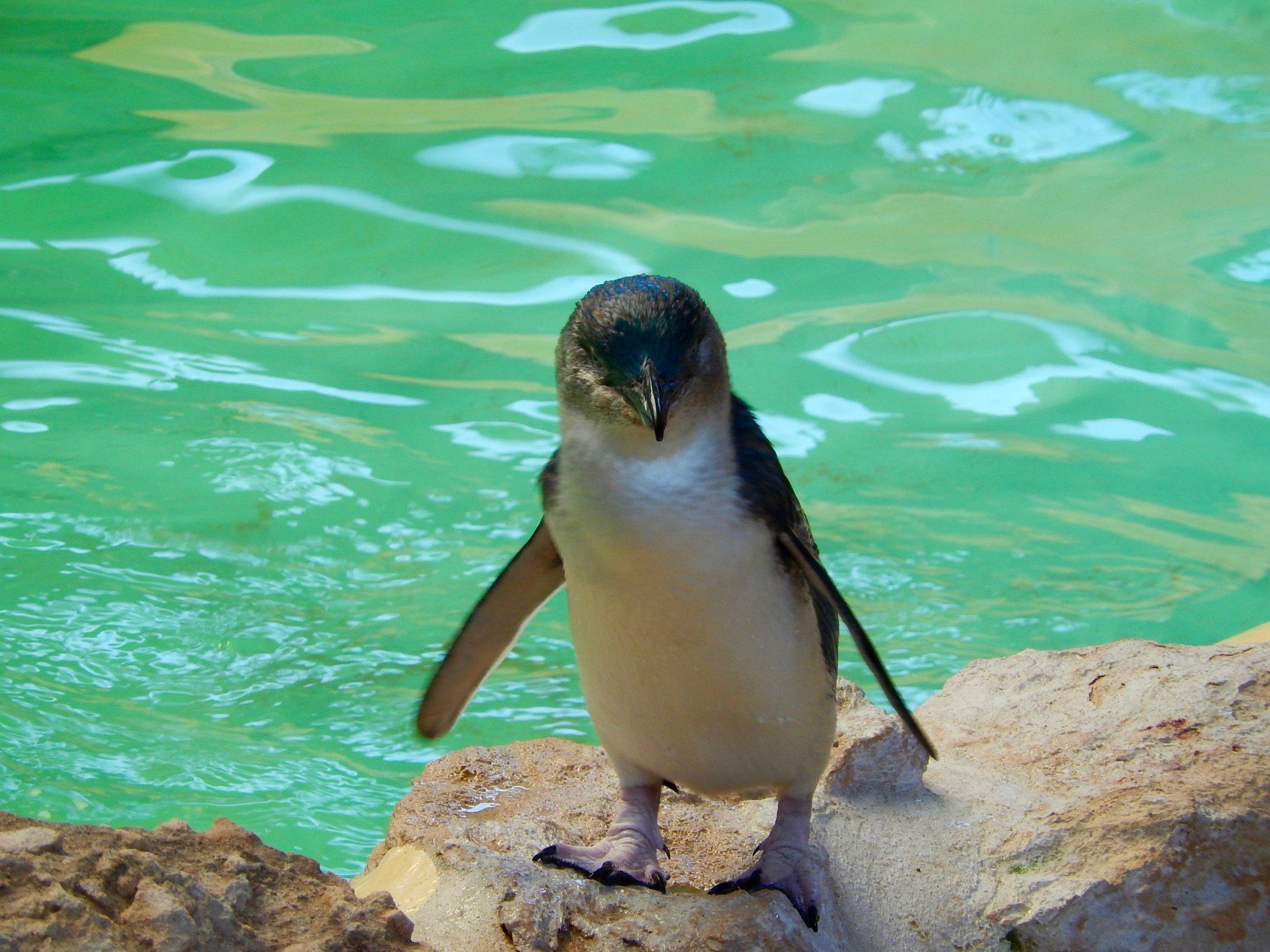 fairy penguin pool 1.jpg