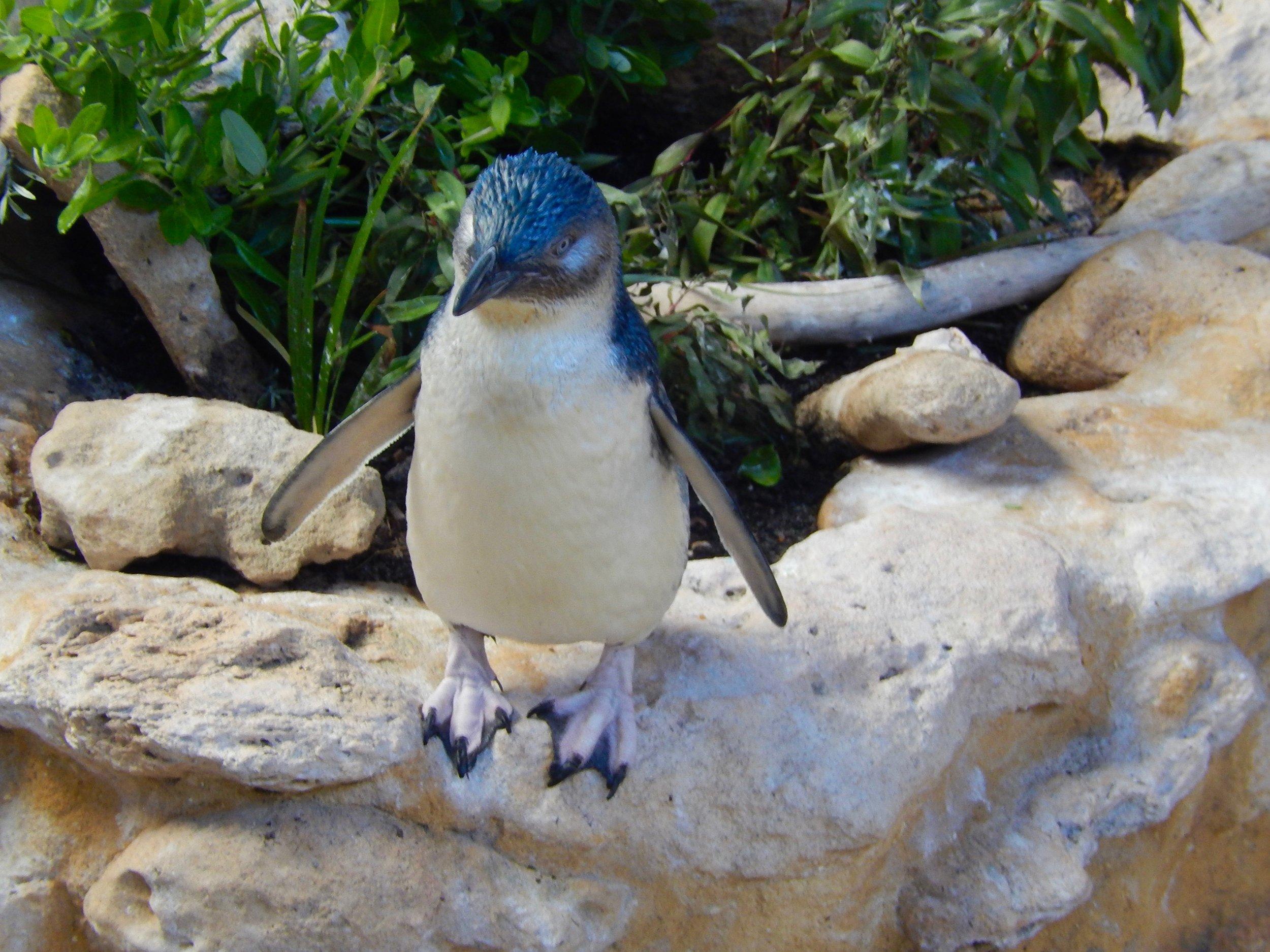 fairy penguin 3.jpg
