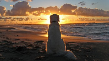 Dog-on-beach-at-sunset-350x196.jpg