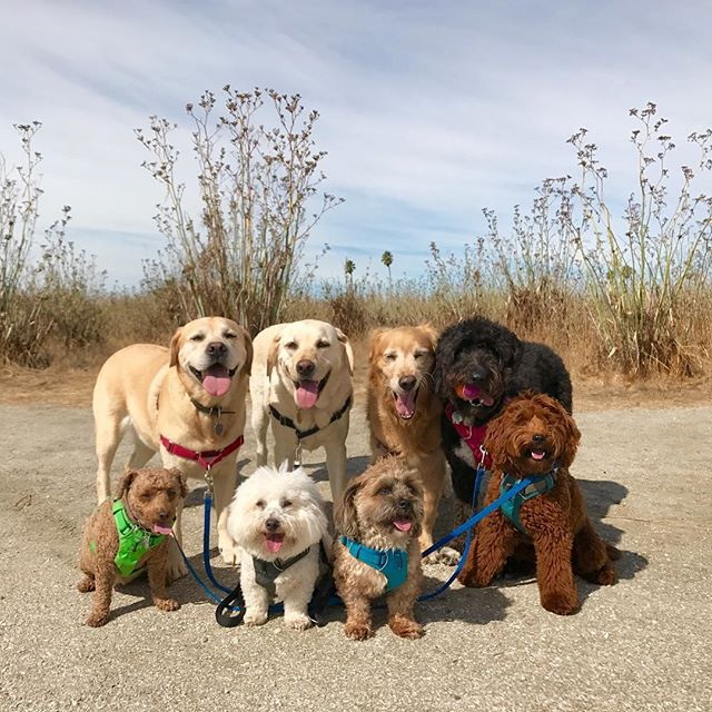 Pup patrol 🐾 --------------------------------------- 🐶#pointfetchmatch #instagramdogs 🐾#dogstagram #iflmdog #ilovemydog #dogwalker 🎾#adventuresindogwalking  #showcasing_pets #dogwalks #dogsareawesome #instadog #pets #sfprodog #baymeadowslife #dogsofinstagram #buzzfeedanimals #puppia #barkhappy #barkbox