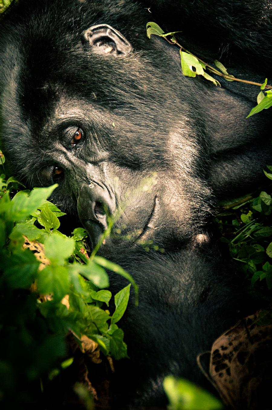 mountain-gorillas-uganda-010.jpg