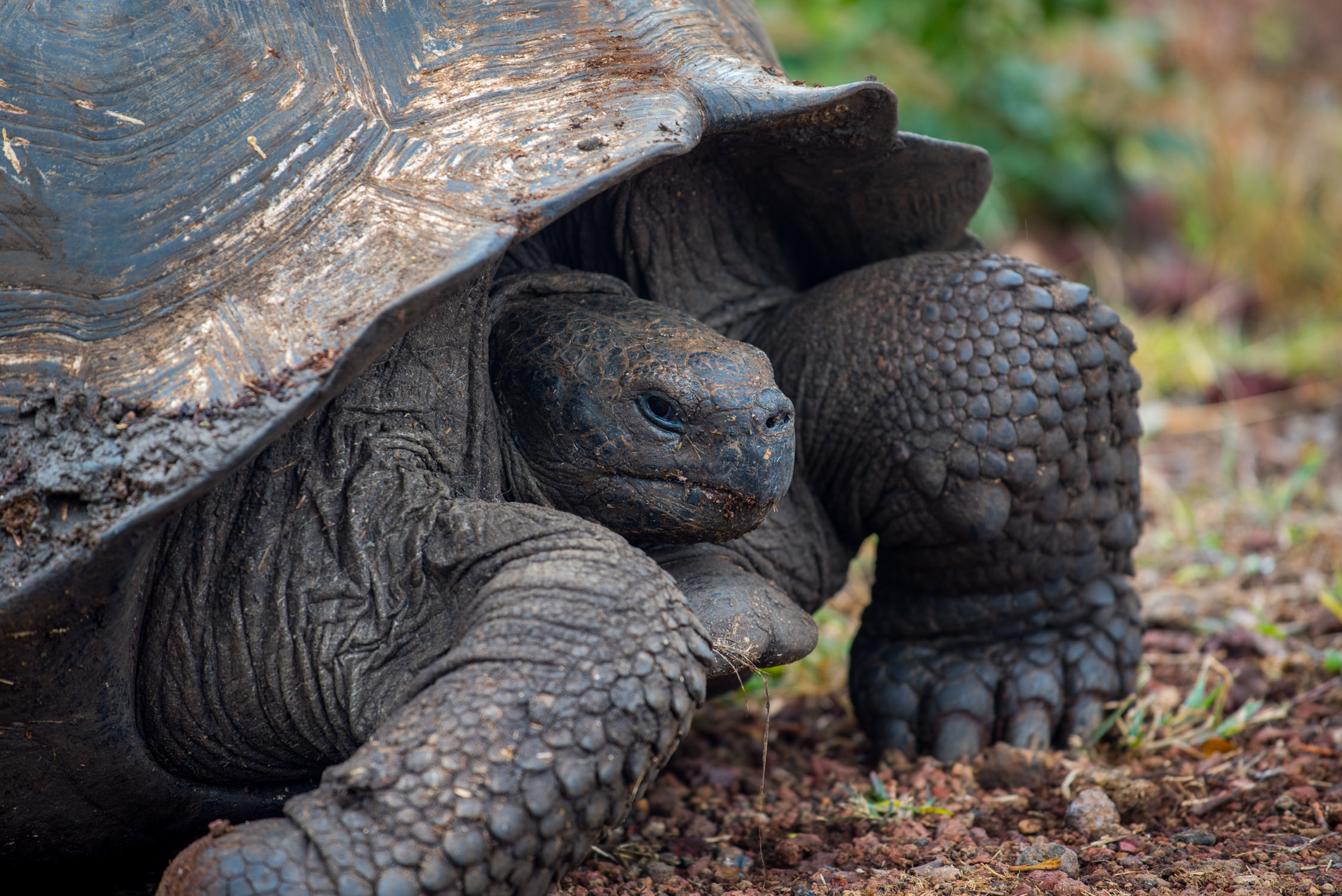 I must have sat watching this Giant tortoise eat grass for about 15 minutes...in complete awe that I was this close to such an ancient creature