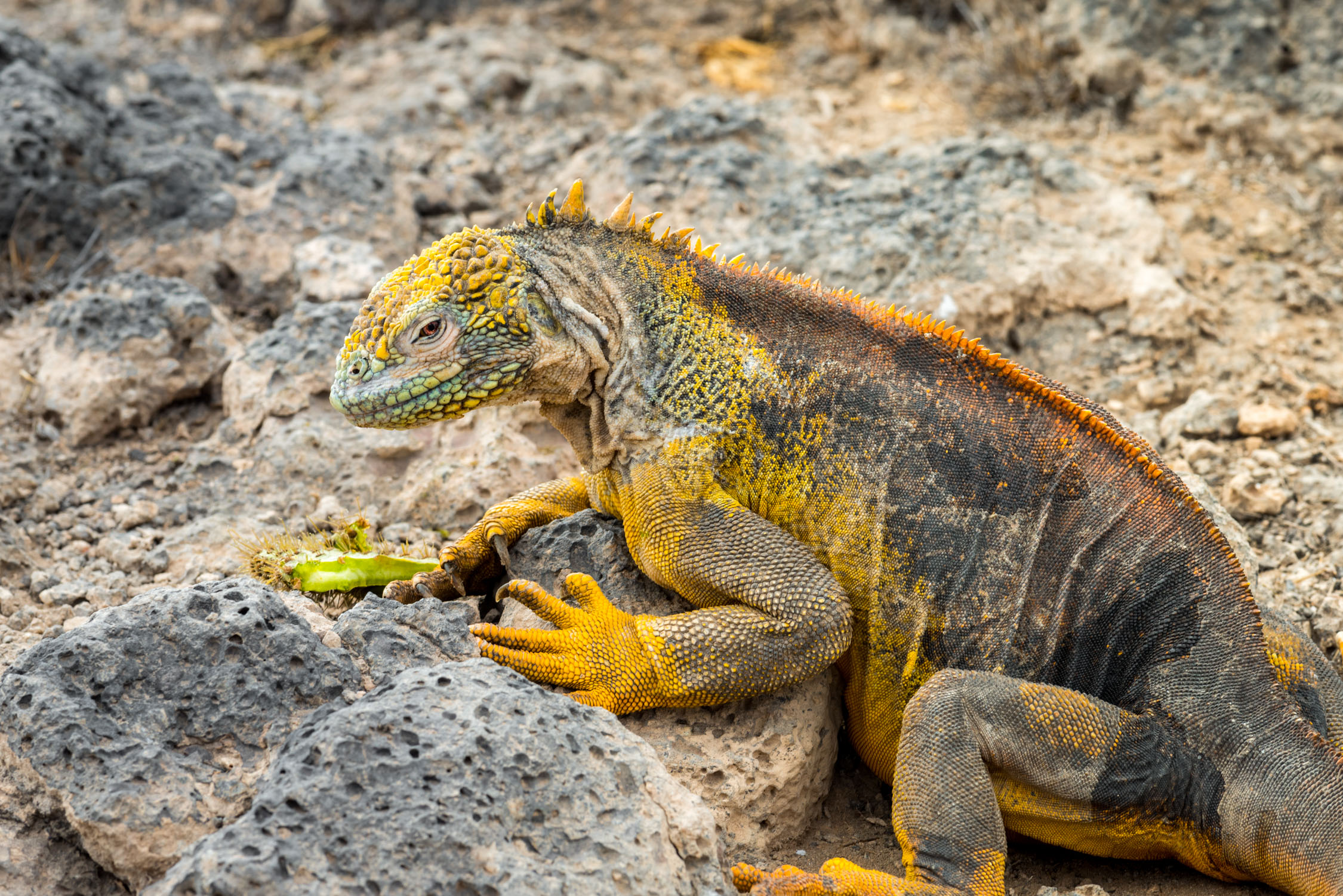 The Land iguanas were stunning! They were all different variations of yellow, green and teal!