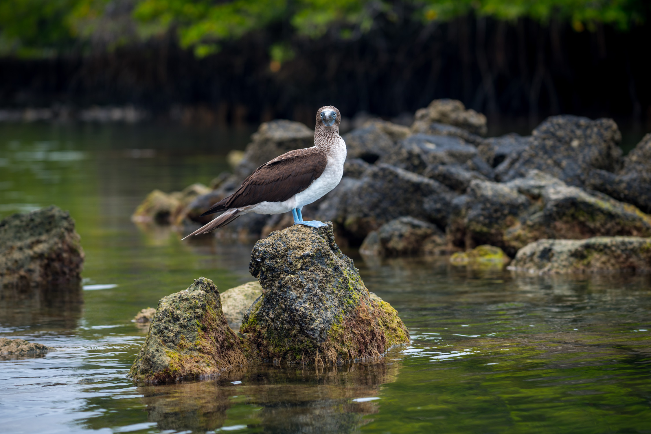 A blue footed boobie standing guard near Black Turtle Cove
