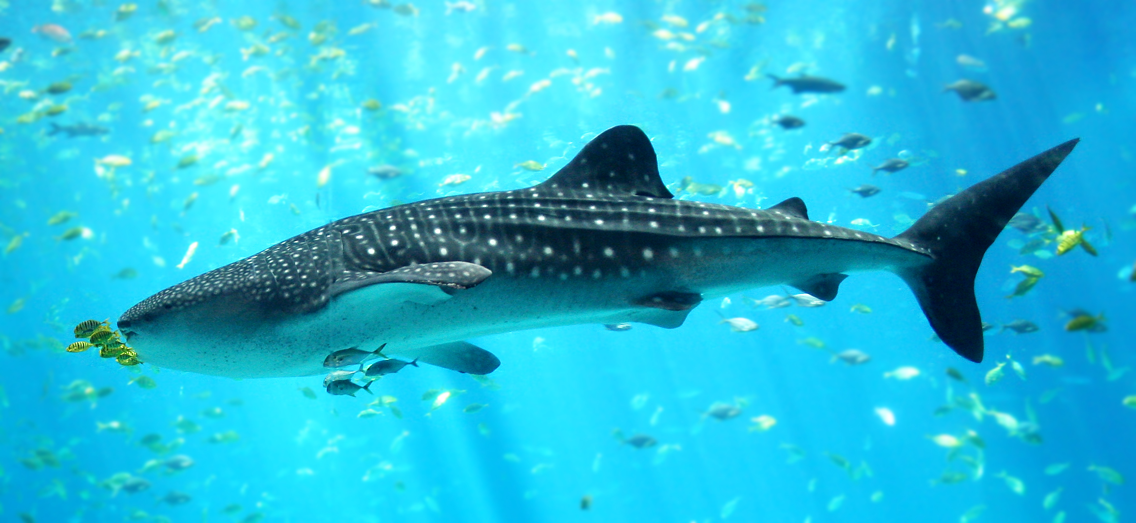 This is not the whale shark we saw. Ours was not interested in having it's photo taken. Pic from Wikipedia!