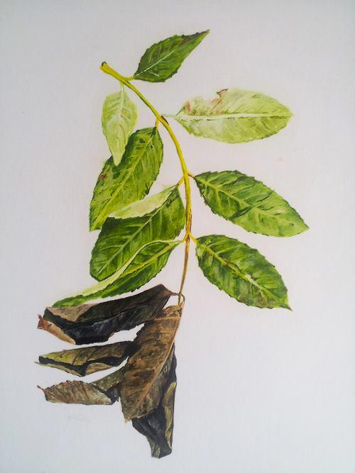 Ash Dieback Symptoms, 2013.  Oil on paper.